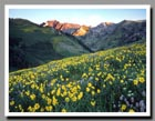 Sunflowers dot the hills of the Albion Basin in Little Cottonwood Canyon, Utah.