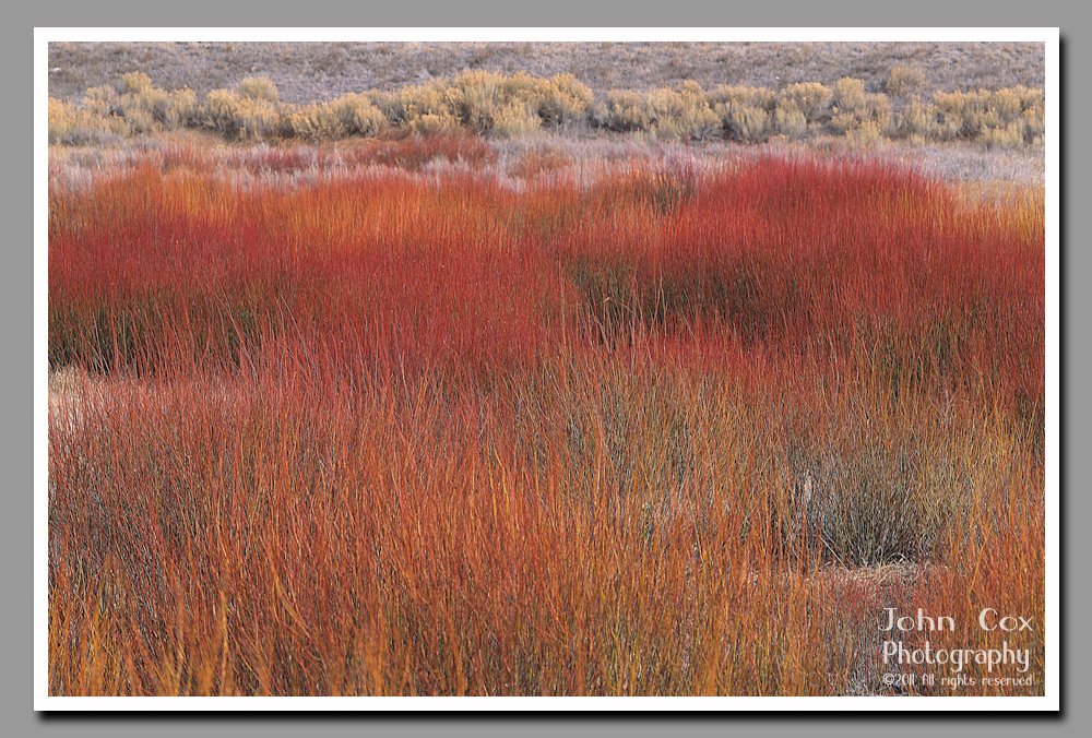 Bright red willows from Soldier Summit in Utah's Uintah National Forest.