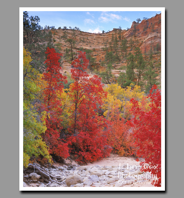 Bright red maples and yellow cottonwoods against a red canyon backdrop in Zion National Park, Utah.